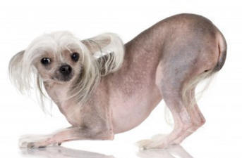Cheeky Chinese Crested