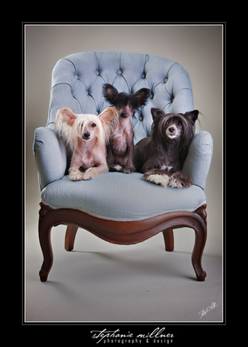 Chinese Crested Family Portrait