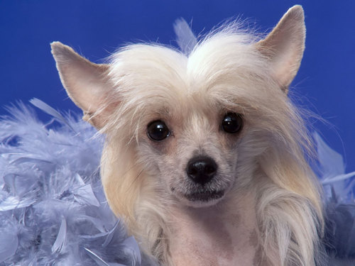 All Small Aso wolpeyper called Chinese Crested