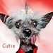 Cute Chinese Crested :) - all-small-dogs icon