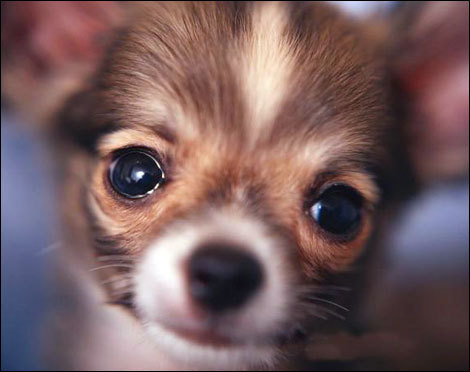 Chihuahuas wallpaper entitled Cute.!