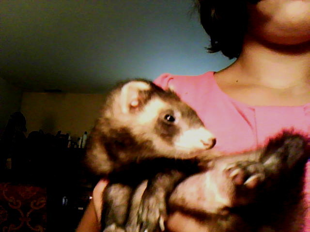 Ferrets gus the cutest and smartest ferret