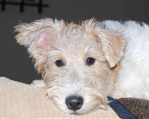 Wire zorro, fox terrier