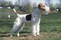 Wire Fox Terrier - all-small-dogs photo