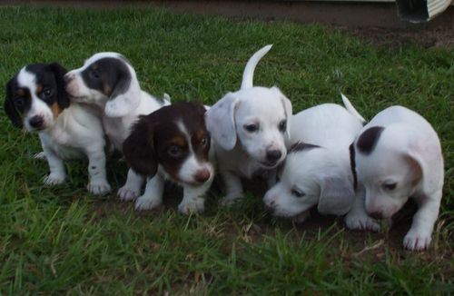 A Big Group of Dachsunds!