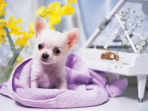 All Small Dogs wallpaper entitled Chihuahua