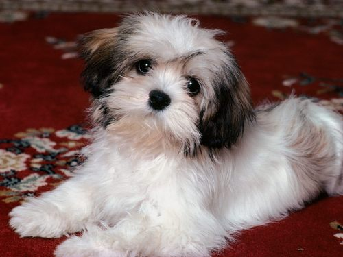 All Small Dogs wallpaper entitled Havanese