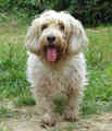 Petit Basset Griffon Vendeen - all-small-dogs photo