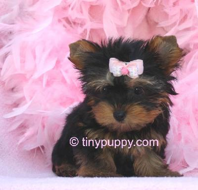 Yorkies Images Baby Yorkie Wallpaper And Background Photos 14941511