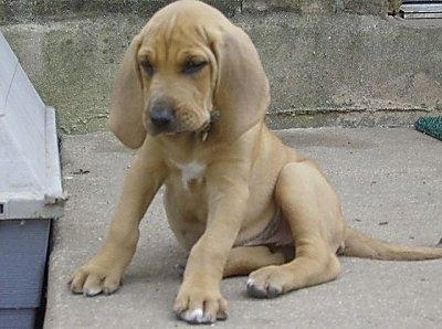 Bloodhound welpe