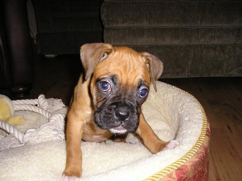 Bloodhound cucciolo