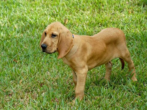 Bloodhound कुत्ते का बच्चा, पिल्ला