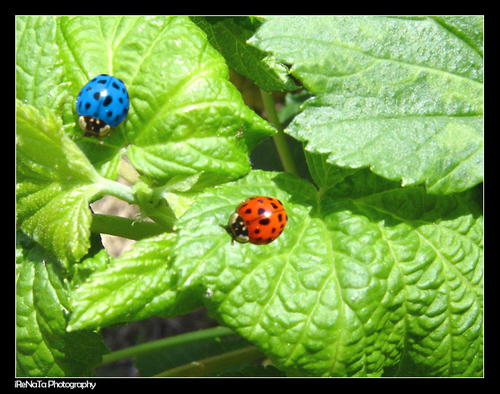 Blue and red ladybirds