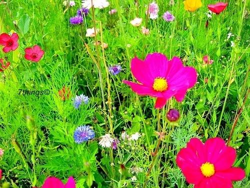 Fields of Blumen 7things©