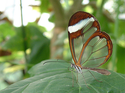 Glasswing schmetterling