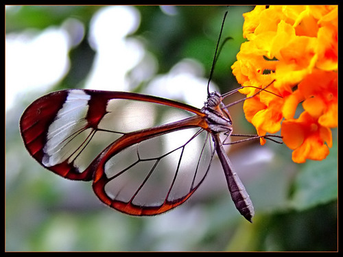 Glasswing প্রজাপতি
