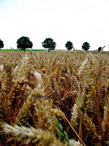 Wheat Fields 7things© - photography Photo