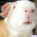 Cute Guinea Pig - guinea-pigs icon