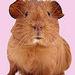 Cute Guinea Pig - guinea-pigs icon