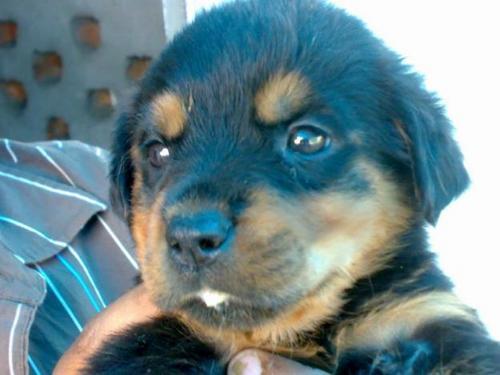 Cute 罗威, rottweiler, 罗威纳犬 小狗