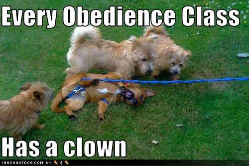 Every obedience class has a clown :D