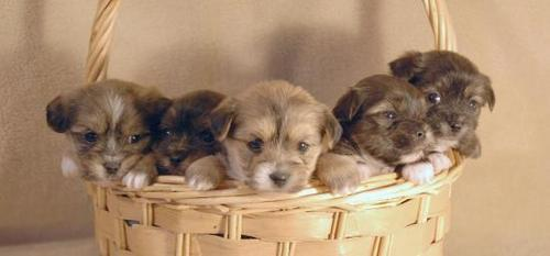 Five chó con in a Basket :)