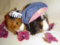 Guinea Pig - guinea-pigs wallpaper