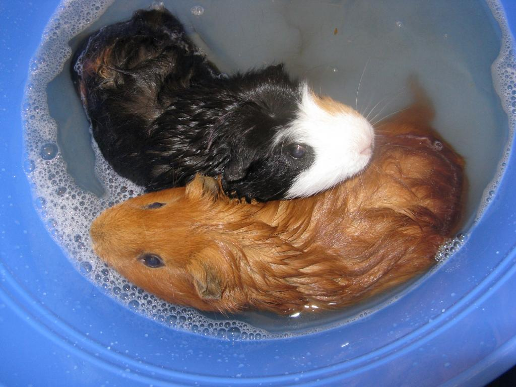 guinea pigs images guinea pigs wallpaper photos 15107344