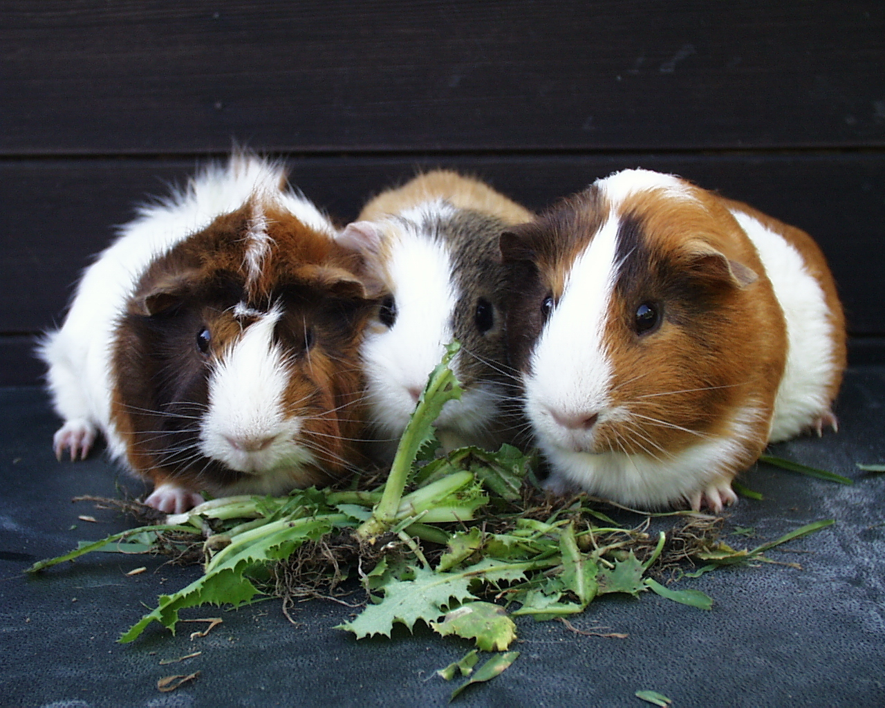 guinea pigs images guinea pigs hd wallpaper and background