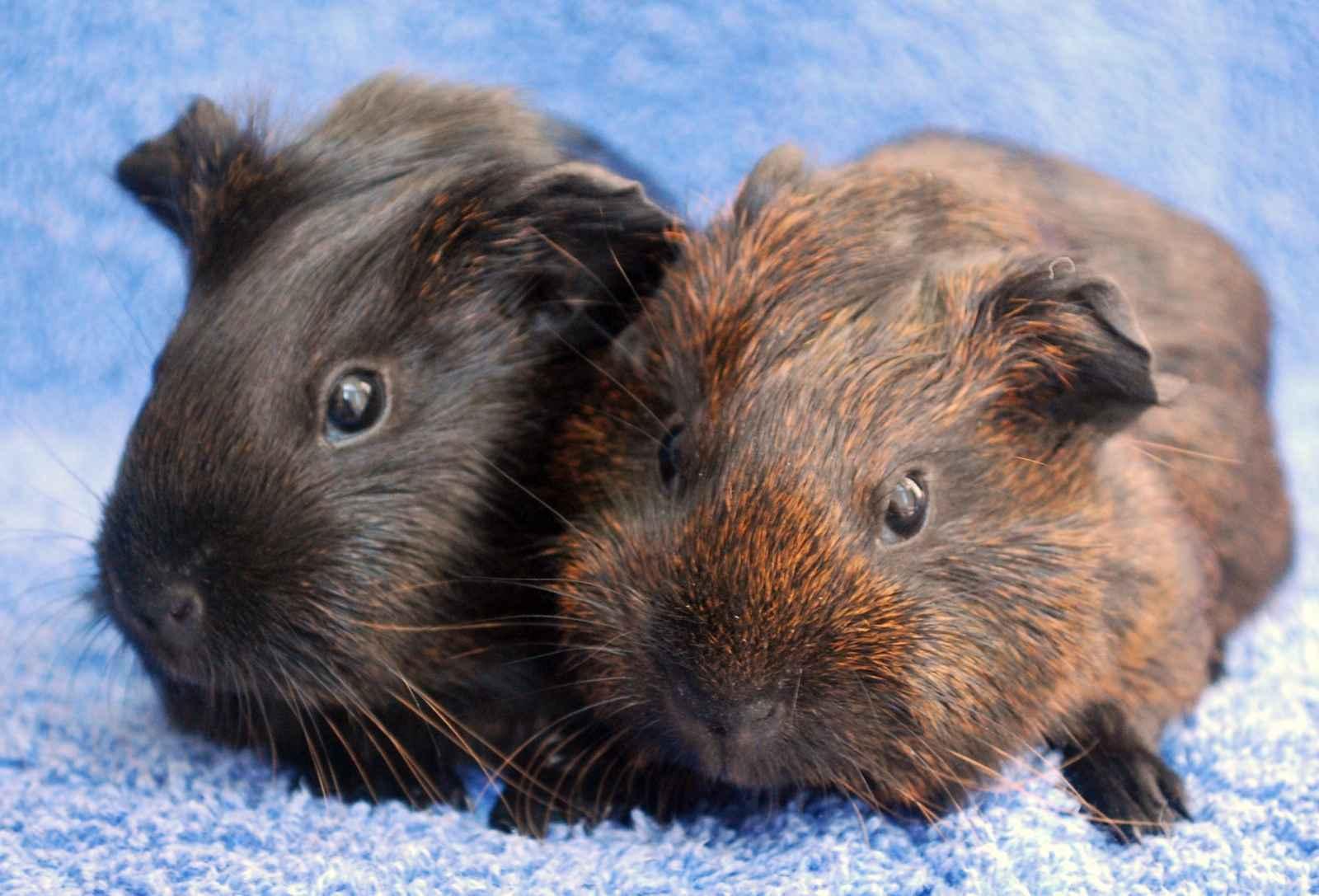 Guinea pigs guinea pigs photo 15107697 fanpop for Guinea pig pictures free