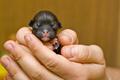 Newborn Rottweiler puppy