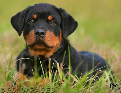 Puppies wallpaper probably with a rottweiler entitled Rotweiler Puppy