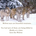 Save The Beautiful Wolf - save-the-alaskan-wolves photo