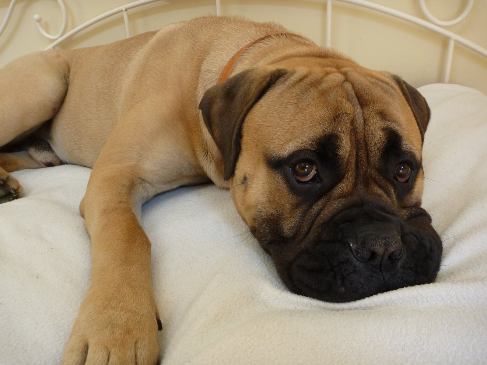 1000+ images about Bullmastiff on Pinterest | Giant dogs ...