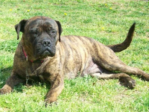 The Beautiful Bullmastiff.
