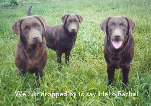 funkyrach01 kertas dinding possibly with a chesapeake bay retriever entitled We just dropped sejak to say 'Hello,Rachel'