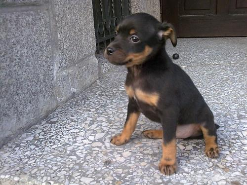 All Small cachorros wallpaper probably with a miniature pinscher and a toy manchester entitled prazsky krysarik