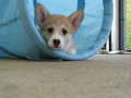 পশমী গেঁজী Welsh Corgi