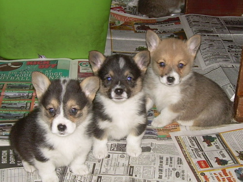 All Small Aso wolpeyper titled kardigan Welsh Corgi