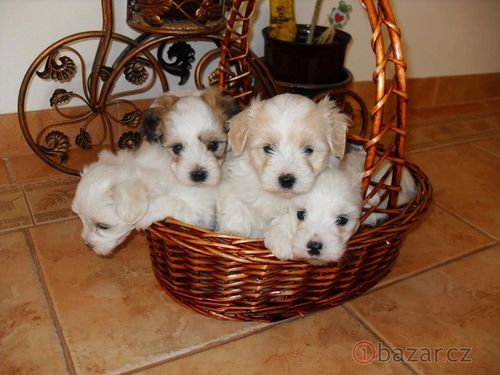 All Small Dogs wallpaper titled Coton De Tulear