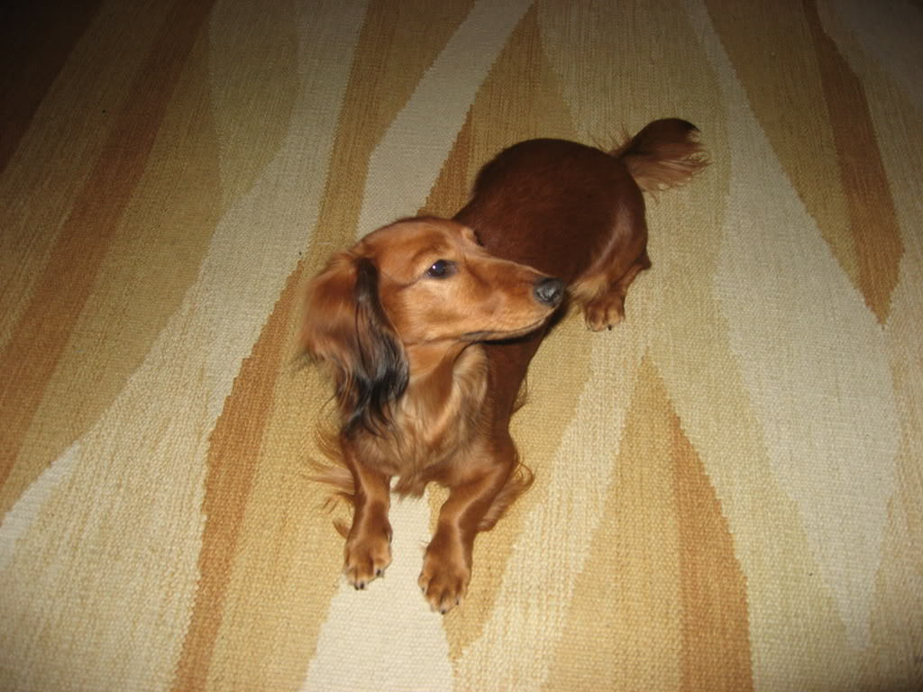 All Small Dogs Dachshund (Longhaired)