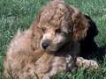 Poodle (Toy)  - all-small-dogs wallpaper
