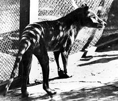 The Thylacine