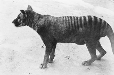 Thylacine with Full Pouch