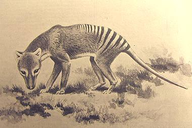 The Thylacine