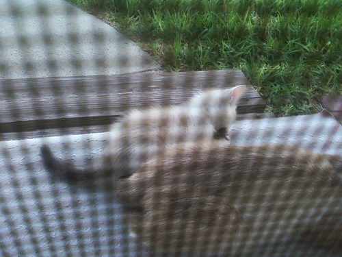 my kitten playing with moms tail