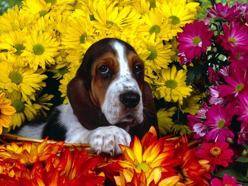 Hound Dogs wallpaper possibly with a basset titled Basset Hound