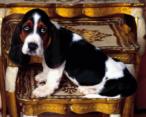Hound Dogs wallpaper possibly containing a basset called Basset Hounds
