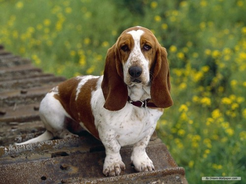 Hound 개 바탕화면 probably containing a basset called Bassett Hound