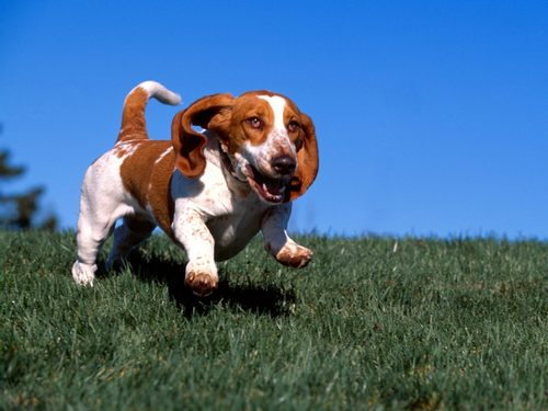 Hound Dogs wallpaper called Bassett Hound